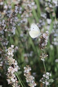 Tuinhappy - vlinders in je tuin -