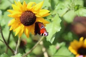 Tuinhappy - vlinders in je tuin --