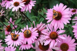 Tuinblog tuinhappy.nl - vlinders in je tuin