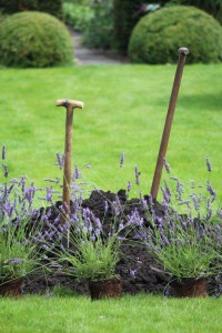 aanplanten lavendel