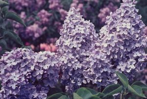 Syringa vulgaris Firmament