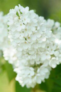 Syringa vulgaris Mme Florent Stepman