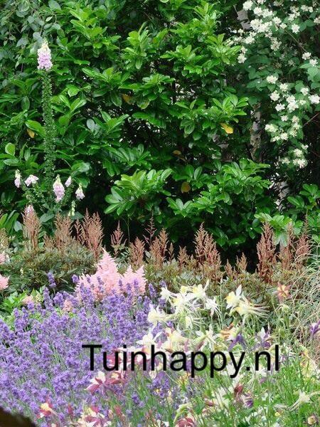 Tuinhappy.nl - lavendel