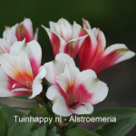 Tuinhappy.nl - Alstroemeria in pot 03