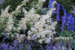 Geitenbaard - vaste plant op Bloem & Tuin