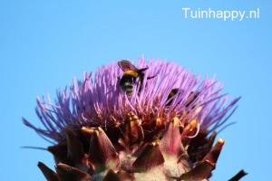 Tuinhappy.nl - Kardoen 02