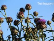Tuinhappy.nl - Kardoen
