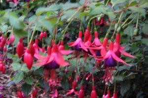 Fuchsia in oktober