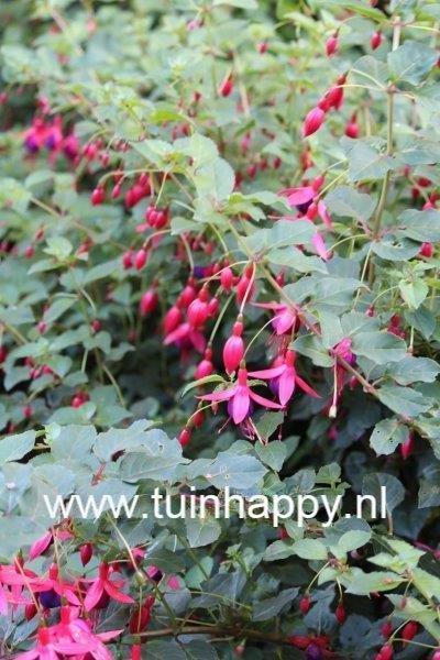 Tuinhappy.nl - fuchsia als najaarsbloeier