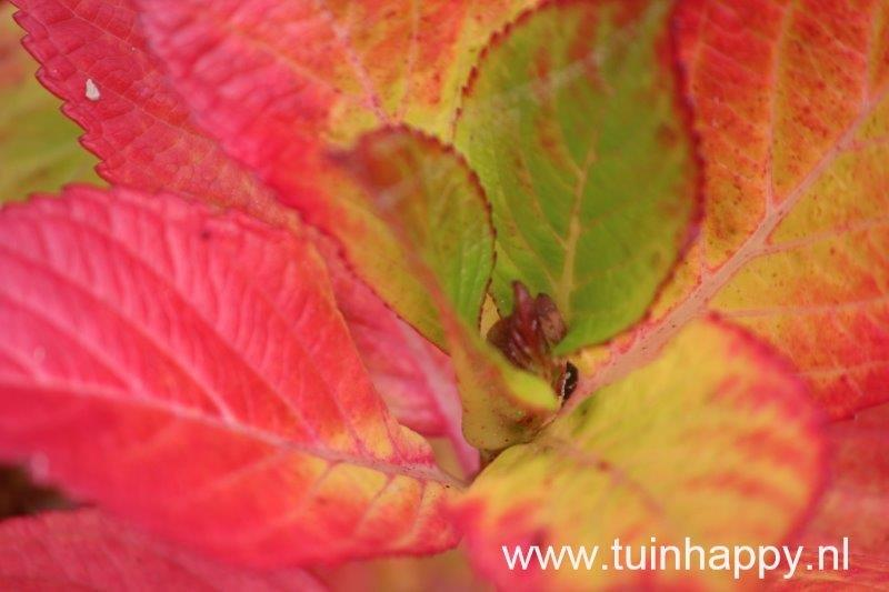 Tuinhappy.nl - hortensia