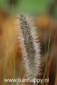 Tuinhappy.nl - pennisetum
