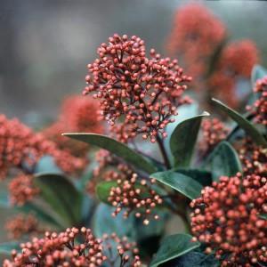Skimmia japonica - winterbloeiers