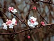 Viburnum bodnantese 'Dawn'