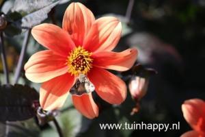 Tuinhappy.nl - Dahlia oranje