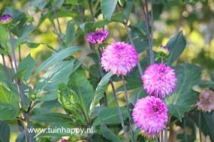 Tuinhappy.nl - Dahlia roze