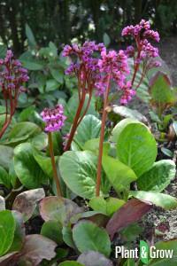 bergenia-cordifolia-schoenlappersplant