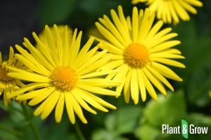 doronicum-orientale-voorjaarszonnebloem