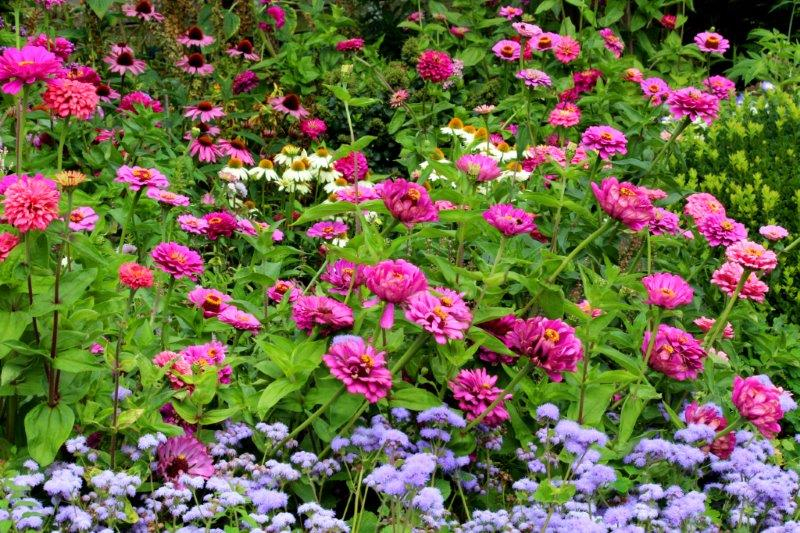 Zinnia in bloemenborder