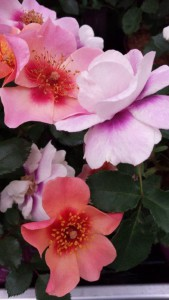 "Rosa Persica""Hugs and Kisses"""" - Coral Tenderness"