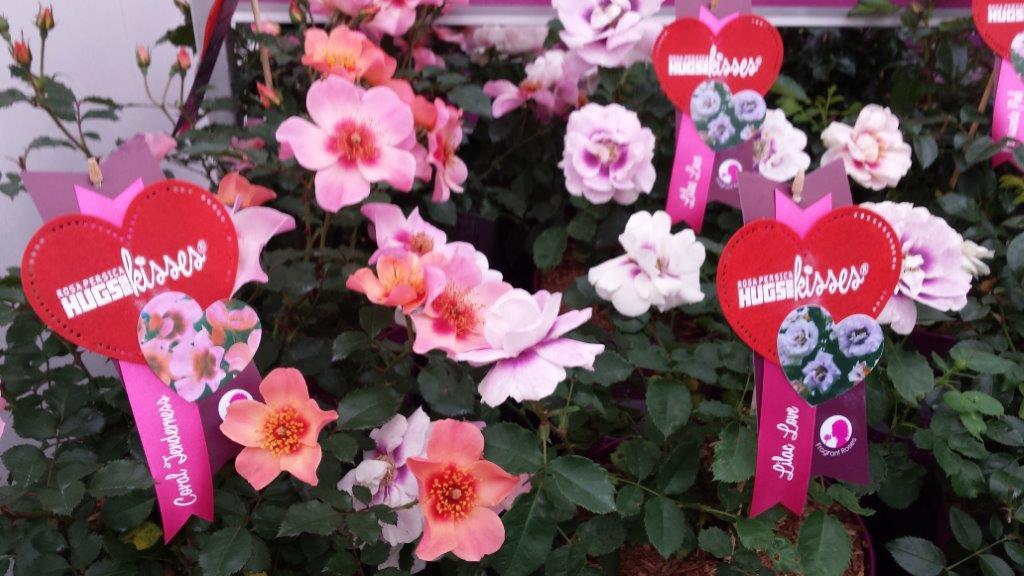 Hugs and kisses rosa persica 001 op Plantarium