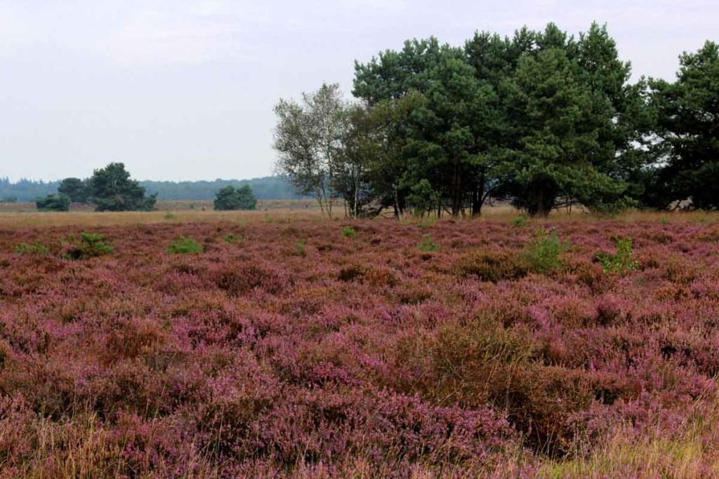 Heide in bloei 02