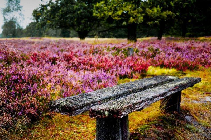 Heide in de natuur