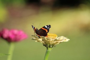 vlinders in een nieuwbouwtuin