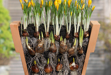 Lasagnebeplanting crocus