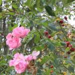 Rozenstruik met bottels. Knip de rozenbottels af voor een langere bloei