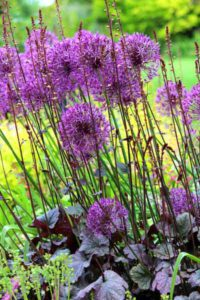 Allium in border