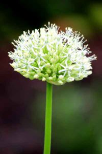 Allium wit