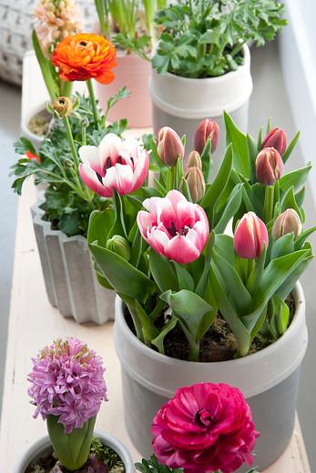 tulpen op pot