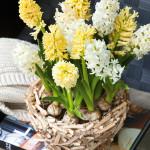 hyacinten op pot