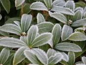 Winter-skimmia2-L