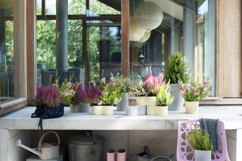 Winterheide in potten (foto mooiwatplantendoen.nl)