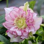 Helleborus Double Ellen® Pink