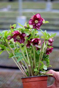 Helleborus Double Ellen® Red