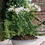 Zomerbloeiers: Agapanthus wit in pot