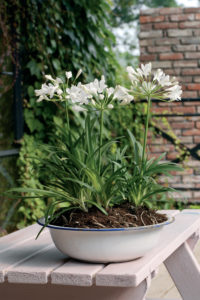 Agapanthus wit in pot