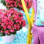 Zomerbloeiers: Begonia in potten