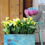 Calla (Zantedeschia in potten)