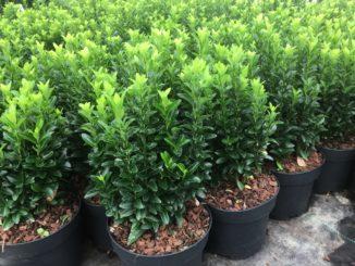 """Euonymus japonica """"Green Spire"""""""