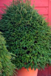 Taxus baccata in pot
