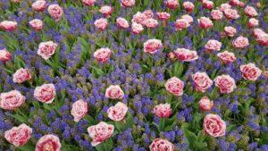 Tulpen met blauwe druifjes - bloembollenmix