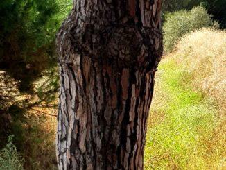 Pinus-Maritima boom