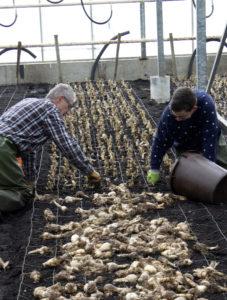 Bollen worden geplant in de bloeikas