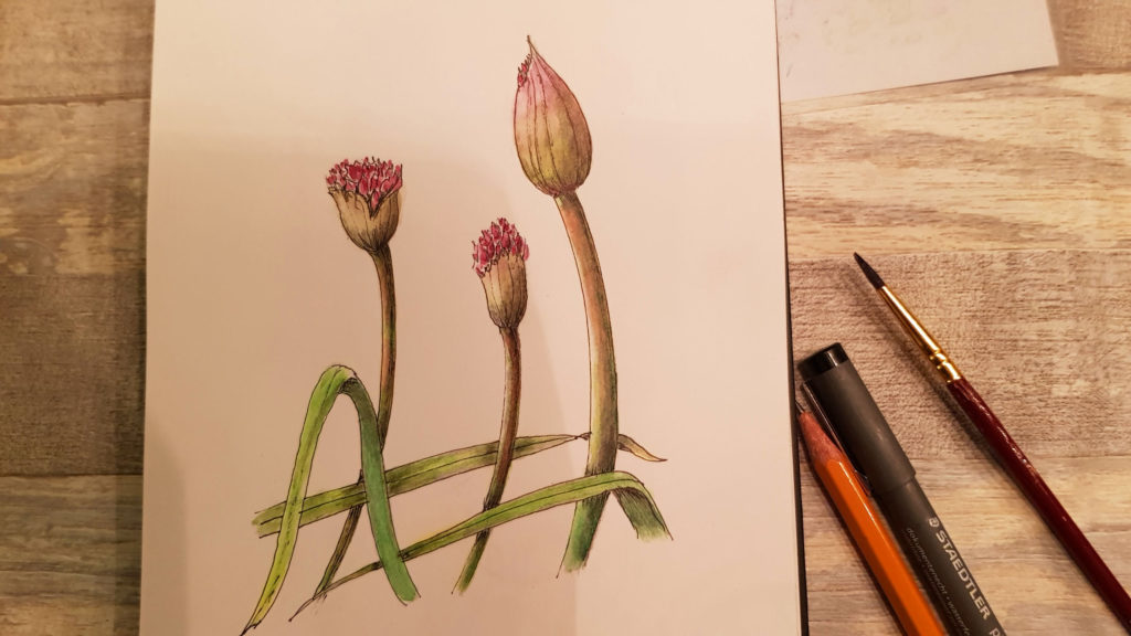 Allium drawing