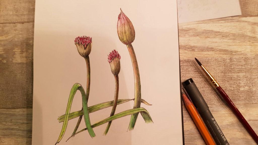 Allium drawing