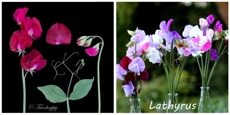 Lathyrus geurplant