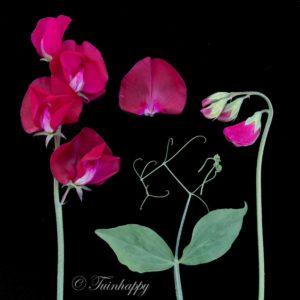 Botanische foto - lathyrus